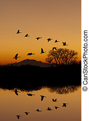 Canadian Geese at Sunset - Silhouetted Canadian Geese flying...