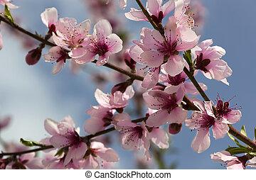 Macro of Peach Blossoms - Closeup of peach blossoms flower...