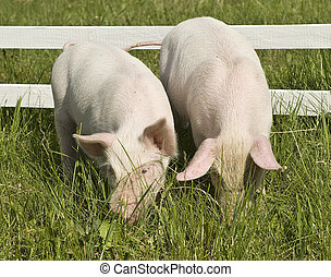 Two small pigs on a grass