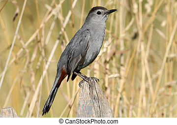 Gray Catbird Dumetella carolinensis on a fence in a field