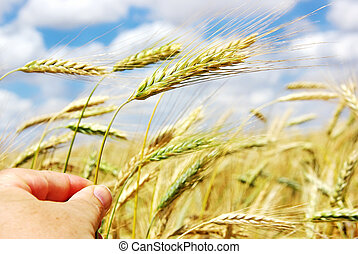 Hand with spike of wheat
