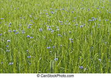 Cornflowers which grow in the field, sowed by wheat