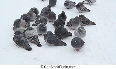 Pigeons in the snow - Small flock of pigeons huddle in the...