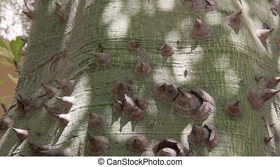 Thorns on the trunk of Ceiba tree