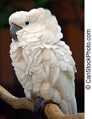 White Moluccan Cockatoo parrot bird - White Moluccan...