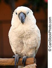 White Moluccan Cockatoo parrot bird