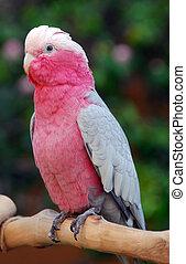 Galah, rosa, breasted, cacatúa, loro, pájaro