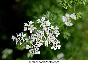 cilantro, flor