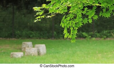 maple of fresh green - I took the maple which shook for...