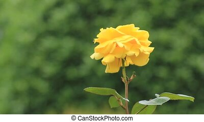 yellow rose - I took the yellow rose which shook for wind.