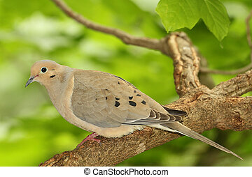 Mourning Dove Perched in a Tree - Mourning Dove (Zenaida...