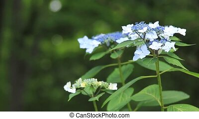 hydrangea and flower fly - I took the hydrangea which shook...
