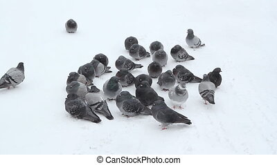 Pigeons in the snow Wide - Small flock of pigeons huddle in...
