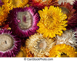 Bouquet of dry straw flower or everlasting(Helichrysum...