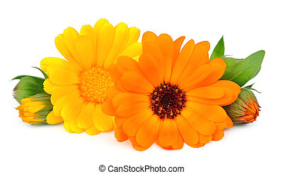 Marigold flowers on the white background