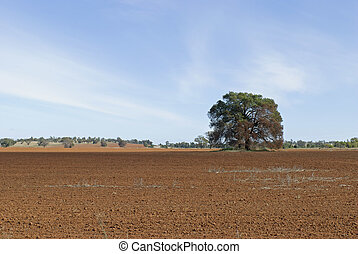 agriculture - a kurrajong tree in a fallowed paddock