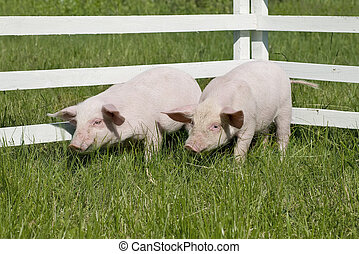 small pigs on a grass