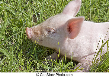 small pig - Small pig who is in a grass