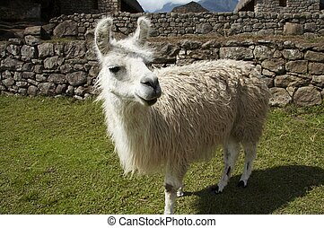 Llama in the Machu-Picchu city - White llama close ap in the...