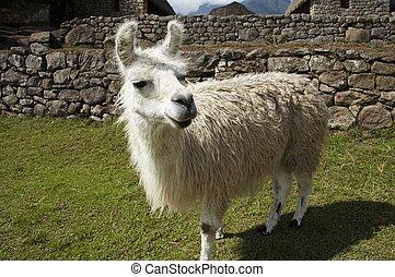 Llama in the Machu-Picchu city - White llama close ap in the...