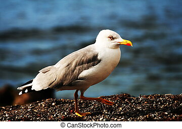 Sea gull on water