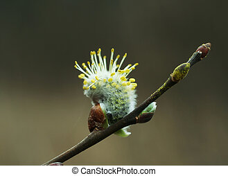 Blossoming pussy-willow