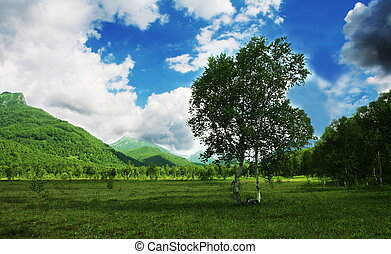 Birch on Kamchatka - Green landscapes on Kamchatka