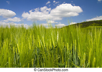 barley in the sun