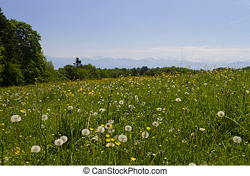 field of flowers in the alps