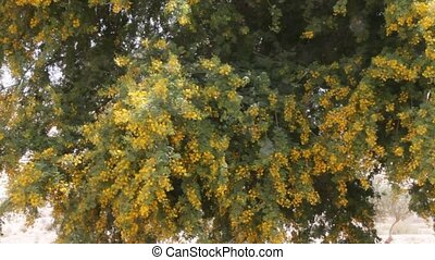 Yellow acacia - Artificially created an oasis in the Negev...