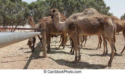 Camel  farm. Dromedary - Negev Desert , Israel