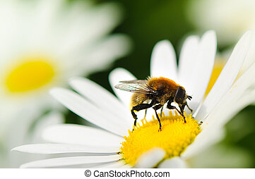 Honeybee - closeup of a bee on a flower