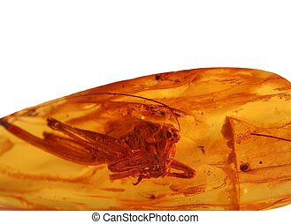 amber - Ancient grasshopper for amber