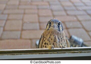 Wild young falcon at glass door - A nosy wild falcon perches...