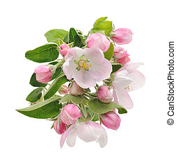 Apple Blossoms. - apple tree blossom isolated on white...