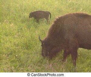 Captive wisent Red List - Captive-bred European bison wisent...