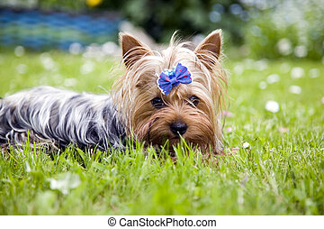 Yorkshire terrier dog with ribbon