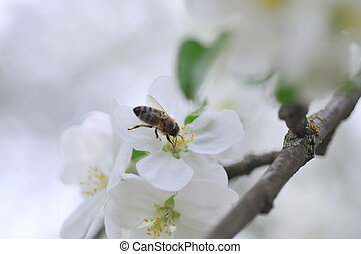 bee on apple tree - Blooming apple-tree with bee