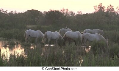 Camarque Horses grazing in marsh