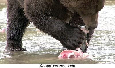 Grizzly Bear eating Salmon close-up