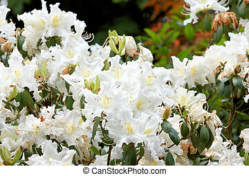 Rhododendron Persil - white flowering bush - Rhododendron...