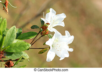 Rhododendron Persil - white flowering bush