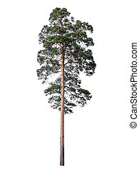Pine isolated on white - High branched pine tree isolated on...