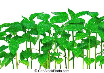 Seedlings pepper