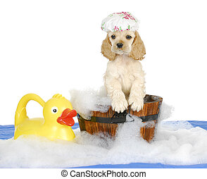 puppy bath time - american cocker spaniel puppy having a...