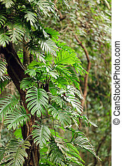 Philodendron in forest - Philodendron climbing on tree in...