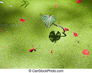 Reflection of lotus leaf - Reflection of alone lotus leaf on...