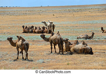 Bactrian camels - Group of wild bactrian camels in...