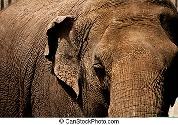 Brown Elephant