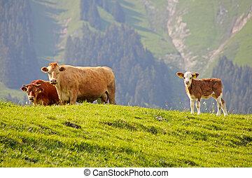 suizo, vaca, Descansar, verde, pasto o césped, alpes